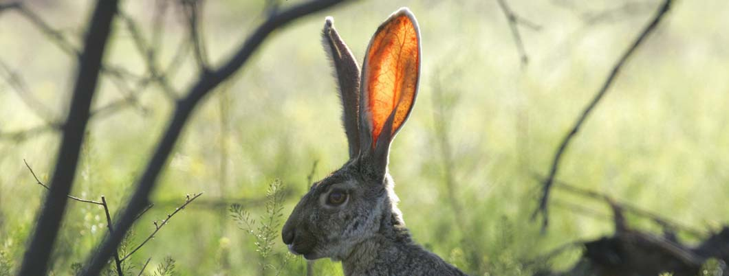 Ear of Jack Rabbit